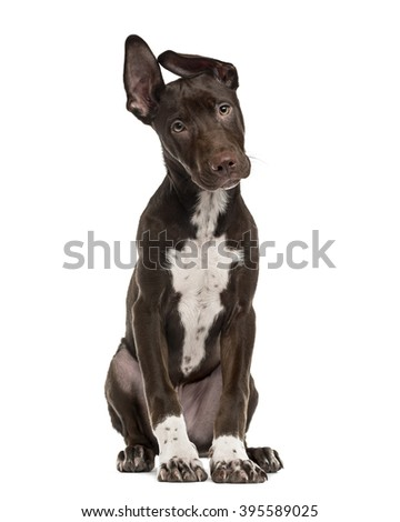 Crossbreed dog puppy sitting and looking at the camera, isolated on white - stock photo