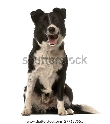 Crossbreed dog sitting in front of a white background - stock photo