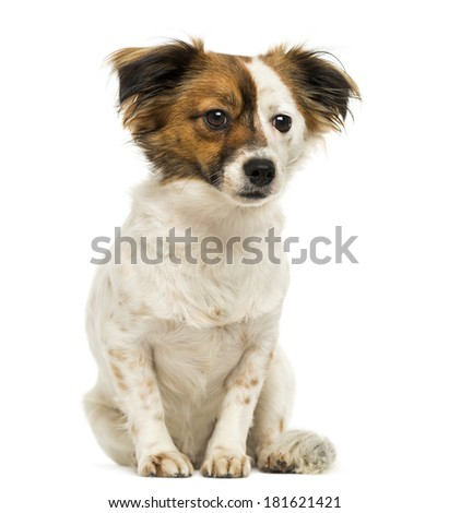 Crossbreed dog sitting, 2 years old, isolated on white