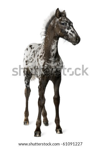 Crossbreed Foal between a Appaloosa and a Friesian horse, 3 months old, standing in front of white background - stock photo