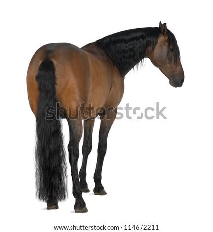 Crossbreed horse against white background - stock photo
