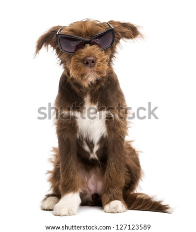 Crossbreed, 5 months old, sitting and wearing sunglasses, against white background - stock photo