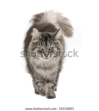 Crossbreed Siberian cat et persian catin front of a white background - stock photo