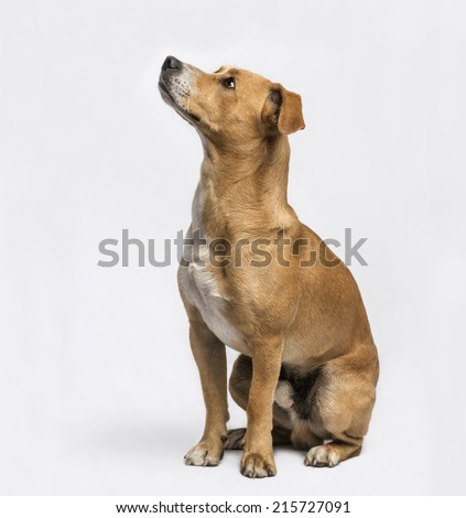 Crossbreed sitting and looking up - stock photo