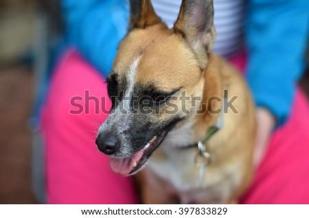 crossbreed small dog - stock photo
