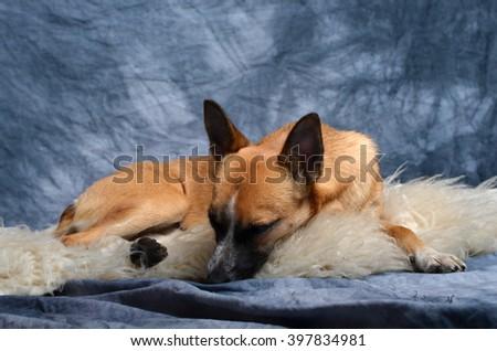 crossbreed small dog in studio - stock photo