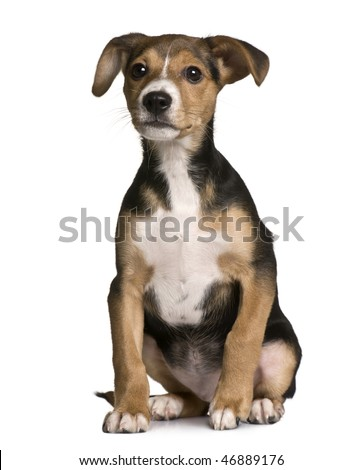 Crossbreed with a Jack Russell and a pincher puppy, 3 months old, sitting in front of white background - stock photo