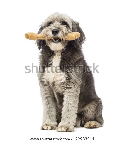 Crossbreed, 4 years old, sitting and holding a bone its a mouth in front of white background - stock photo