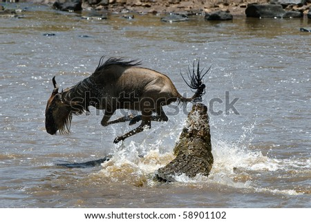 Crossing through the river Mara.The antelope has undergone to an attack of a crocodile./ On a hair from death. - stock photo