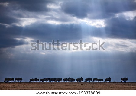 Crossing wildebeest - stock photo