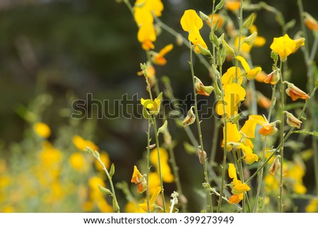 Crotalaria juncea is yellow flowers blooming in the garden summer, to improve the soil before planting - stock photo