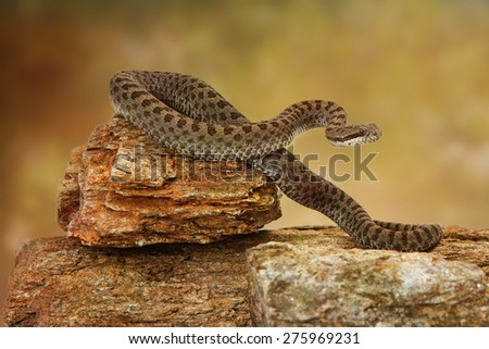 Crotalus pricei, also known as twin-spotted rattlesnake, a venomous snake found mainly in southeastern Arizona and Northern Mexico. Sitting on top of rocks on a white backdrop - stock photo