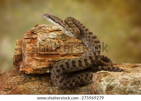 Crotalus pricei, also known as twin-spotted rattlesnake, a venomous snake found mainly in southeastern Arizona and Northern Mexico. Sitting on top of rocks. - stock photo