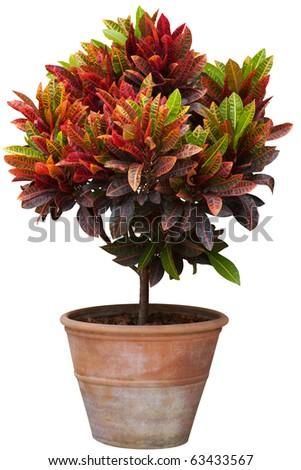 croton tree in flowerpot isolated white - stock photo