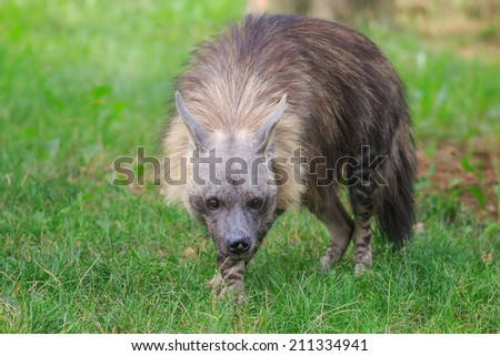 crouched brown hyena - stock photo