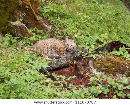 Crouching Bobcat - stock photo