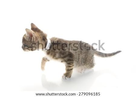 Crouching 8 Week old Kitten, stalking her prey - stock photo