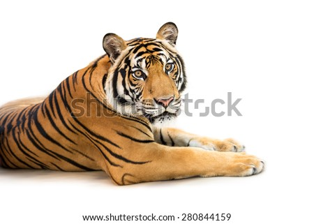 Crouching young siberian tiger isolated on white background - stock photo