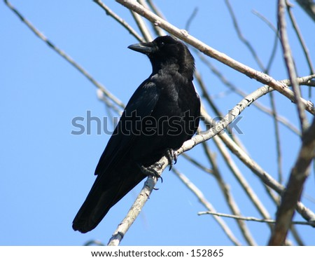 Crow - stock photo