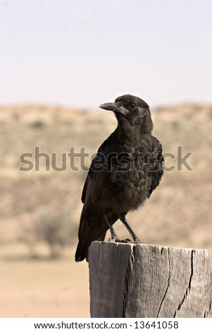 Crow in Kgalagadi Transfrontier Park in South Africa - stock photo