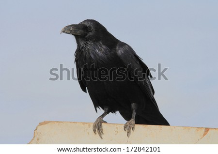 crow raven - stock photo