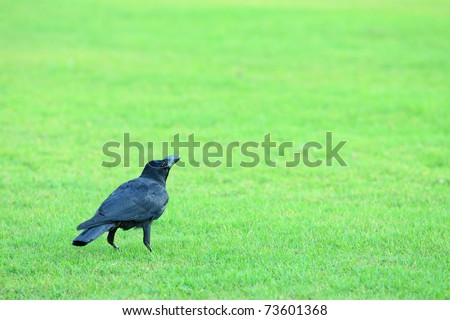 Crow resting on green grass field - stock photo