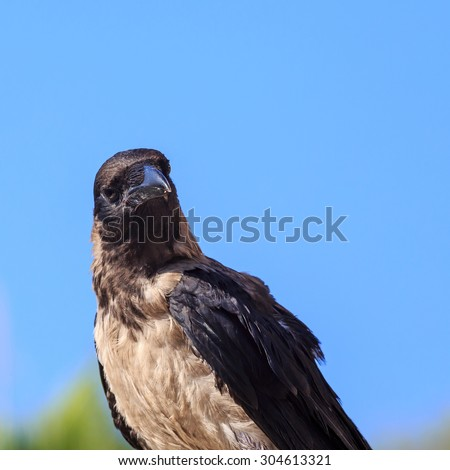 Crow sitting on the stone on the blue sky background. Soft focus put on the head of bird. Crow looks at the camera.