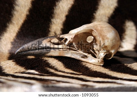 crow skull sits on a real piece of zebra fur