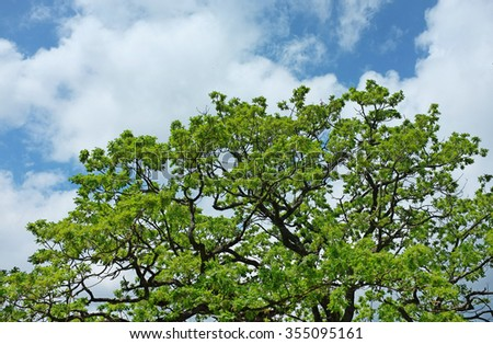 Crowd of oak tree on cloudy blue sky background. Canopy Of Tall Oak Tree. Branches Of Tree With Fresh Green Foliage. - stock photo