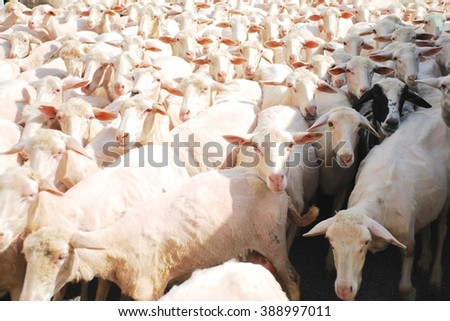 Crowd of sheep: Firenze, Italy