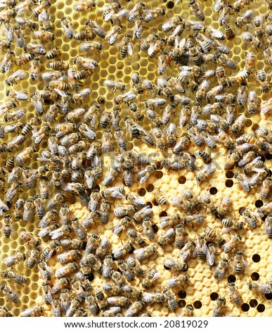 Crowd of working bees on new honeycomb with bees  larvas