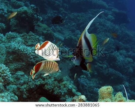Crowded dinner: butterflyfish nipping at passing jellyfish - stock photo