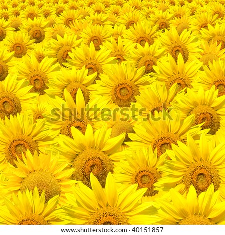 Crowded Sunflowers field - stock photo
