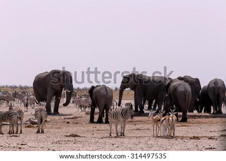 Crowded waterhole with Elephants, zebras, springbok and orix. Etosha national Park, Ombika, Kunene, Namibia. True wildlife photography - stock photo