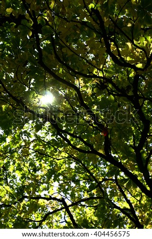 Crown and twigs of an old beech tree with sunlight shining through the green foliage.  - stock photo