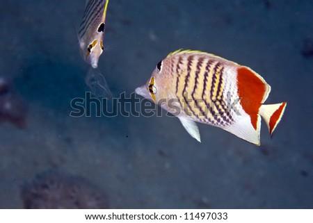 crown butterflyfish (chaetodon paucifasciatus) - stock photo