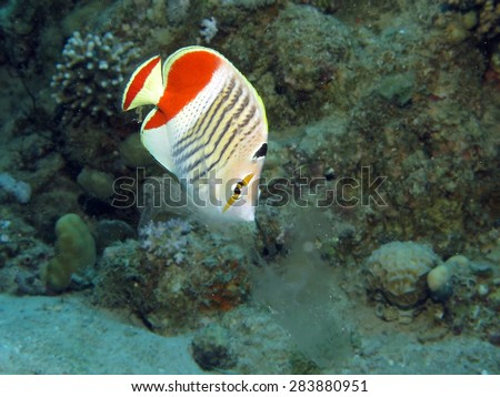Crown butterflyfish feeding on a passing jellyfish - stock photo