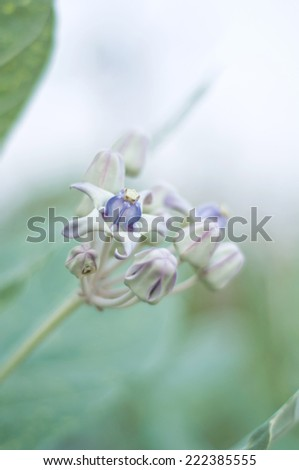 Crown Flower (Calotropis gigantea) - stock photo