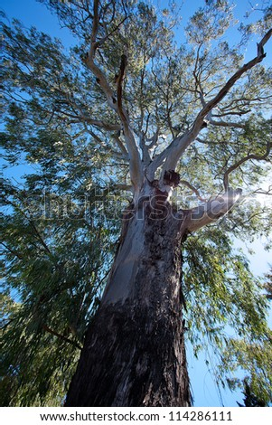 crown of a large eucalyptus tree against the sky - stock photo