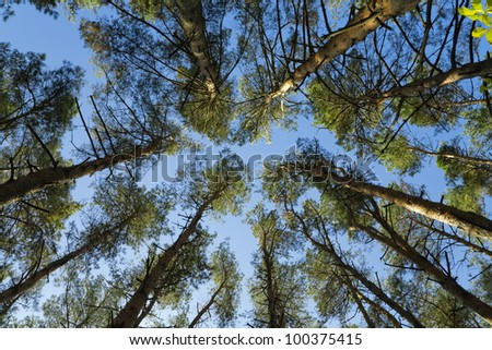 crown of high green trees against the blue sky - stock photo