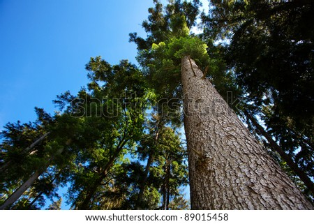 crown of pine against the blue sky - stock photo