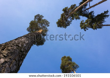 Crown of tall pines against the beautiful blue sky with clouds - stock photo