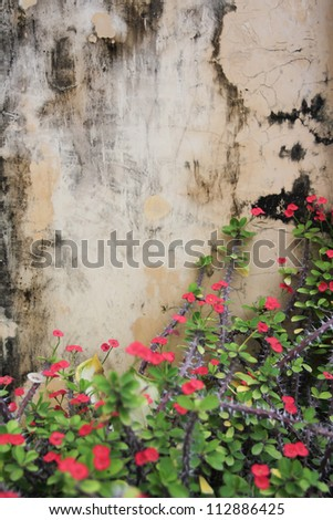 Crown of thorns flowers on grunge wall texture - stock photo
