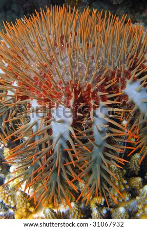 Crown of Thorns starfish - stock photo