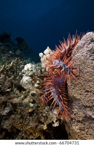 Crown-of-thorns starfish in the Red Sea.