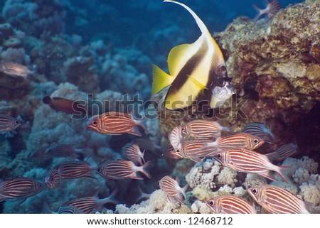 crown squirrelfish and bannerfish - stock photo