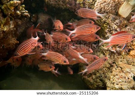 crown squirrelfish (sargocentron diadema) - stock photo