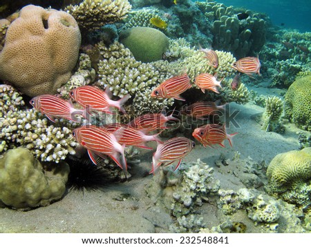 Crown squirrelfish schooling during the day - stock photo