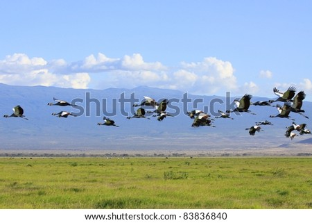Crowned cranes take flight in formation across the grasslands of Amboseli National Park, Kenya