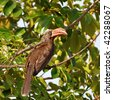 crowned hornbill in Kruger national park - stock photo